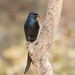 Drongo Real by ik_kil