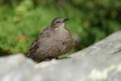 Remolinera Negra / Churrete Austral / Tussacbird / Cinclodes antarcticus antarcticus