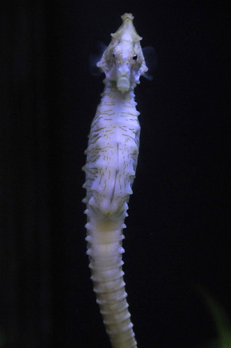Sea Horse by metric_iso