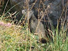 animal, grass, rodent, fauna, muskrat, wildlife,