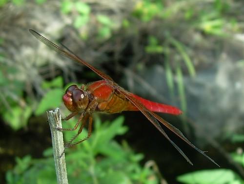 reddragonfly brachymesiafurcata redtailedpennant tinyantenna