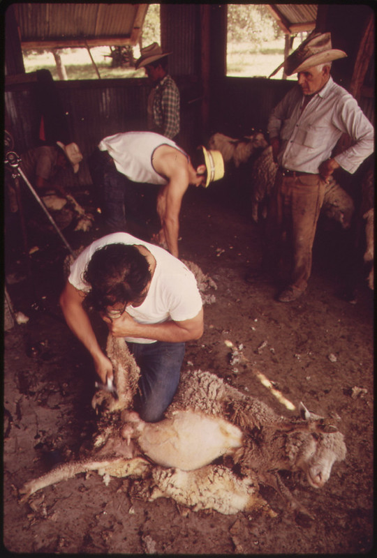 Sheep Being Sheared on a Ranch in the Leakey, Texas, Area near San Antonio 05/1973