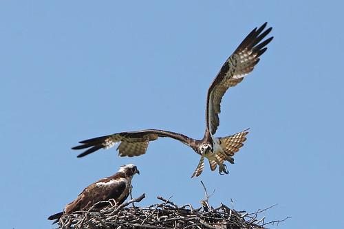 birds nest osprey ospreys talons jeffdyck