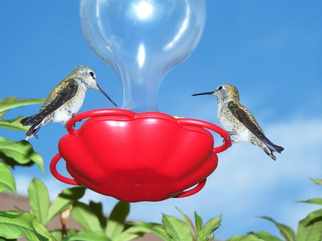 Hummingbird2006-2