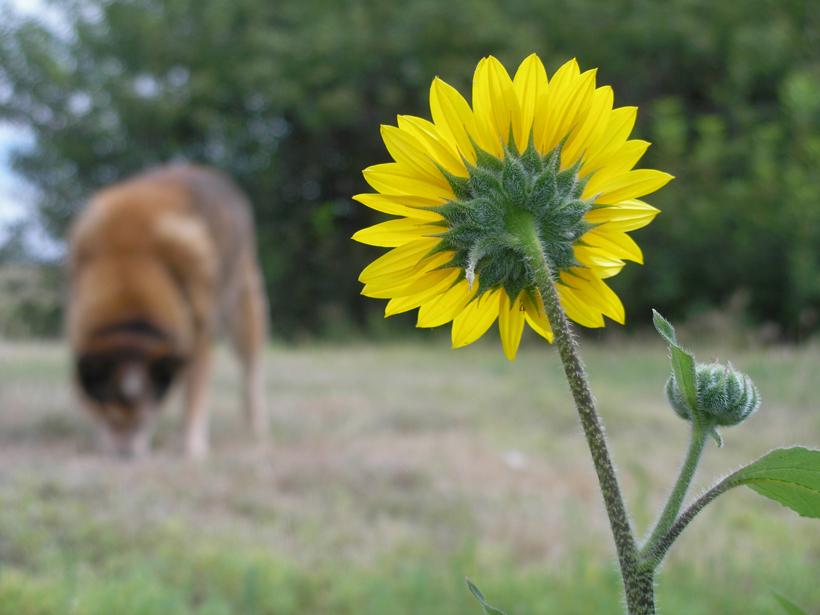 diceSunflower