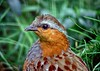 Chinese Bamboo Partridge by P. Stubbs photo