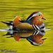 MANDARIN DUCK by spw6156 - Over 6,826,606 Views
