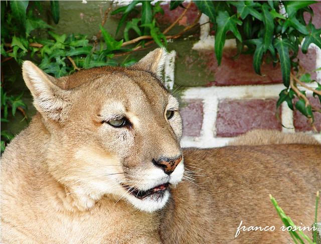 Puma Patagónico