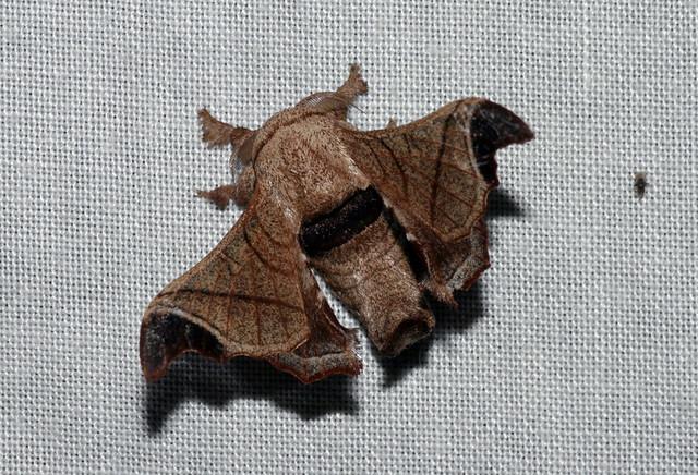 Bombyx incomposita (Bombycidae)