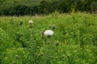 White Weeds