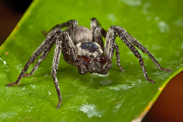 Scariest looking spider - photo#4
