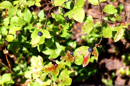 ripe huckleberries on the bush    MG 0118