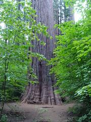 Calversas Big Tree State Park