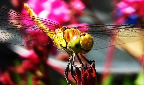 Libelle im Garten,   233