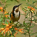 Eastern Spinebill - Photo (c) David Cook, some rights reserved (CC BY-NC)