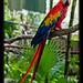 Guacamaya roja, Scarlet macaw, Belize Zoo (2)