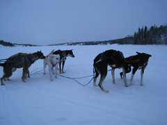 4223868298 4c71e20100 m Dog Sledding in Swedish Lapland   Mushing Beneath the Northern Lights