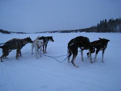 4223868298 4c71e20100 m Dog Sledding in Swedish Lapland   Mushing Beneath the Northern Lights