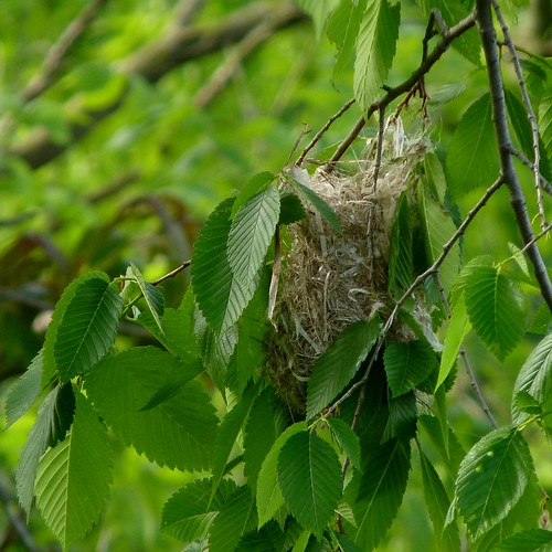The Baltimore Oriole nest in progress
