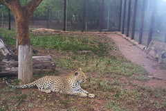 animal, cheetah, zoo, small to medium-sized cats, mammal, fauna, wildlife,