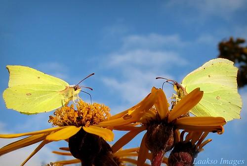 blue autumn sky flower macro green nature yellow clouds canon butterfly suomi finland insect maria images sue perhonen kerimäki luonto laakso sininen kukka taivas hyönteinen keltainen insectphotography canonpowershota710is marialaakso sue323 laaksoimages