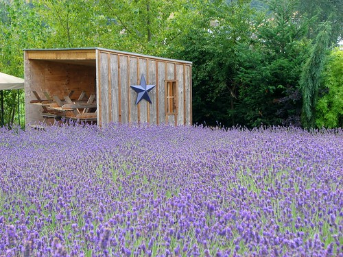 lavender field farm sequim washington open wooden shed wood hotel one star piled benches plants flowers purple green
