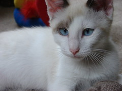 nose, animal, turkish van, khao manee, small to medium-sized cats, pet, burmilla, ragdoll, thai, cat, carnivoran, whiskers,