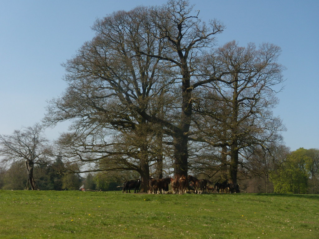 Horses under a tree Gerrards Cross to Cookham