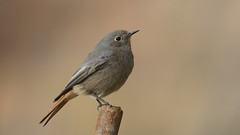 Black Redstart (explored)