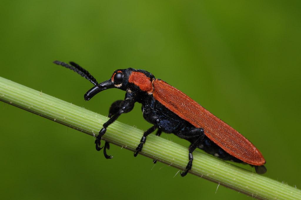 Red weevil   Rhinotia haemoptera, the red weevil, is a beetl…   Flickr