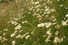Ox-eye Daisy (Leucanthemum vulgare)