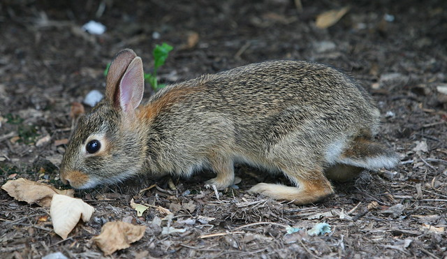 baby-cottontail-rabbit