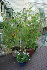 sungold tomato plants in containers