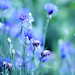 A Little Something Blue~ by raehein