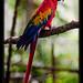 Guacamaya roja, Scarlet macaw, Belize Zoo