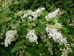 lilac(0.0), blossom(0.0), guelder rose(0.0), lilac(0.0), produce(0.0), fruit(0.0), food(0.0), elderberry(0.0), evergreen(1.0), shrub(1.0), flower(1.0), plant(1.0), meadowsweet(1.0),