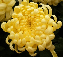 Chrysanthemums '08-09.