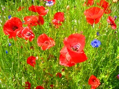 annual plant, flower, field, grass, plant, wildflower, flora, coquelicot, meadow, petal, poppy,
