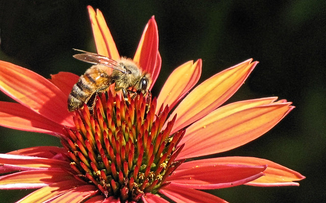 Honey bee on Echinacea