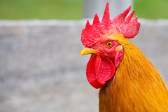 animal, chicken, yellow, rooster, red, poultry, fauna, close-up, comb, fowl, beak, bird, galliformes,