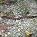 Small photo of Baby Cottonmouth, Agkistrodon piscivorus