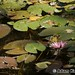 Water lily with pink blossom