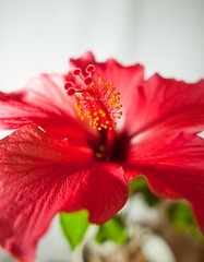 flower, leaf, red, plant, malvales, macro photography, flora, chinese hibiscus, close-up, petal,