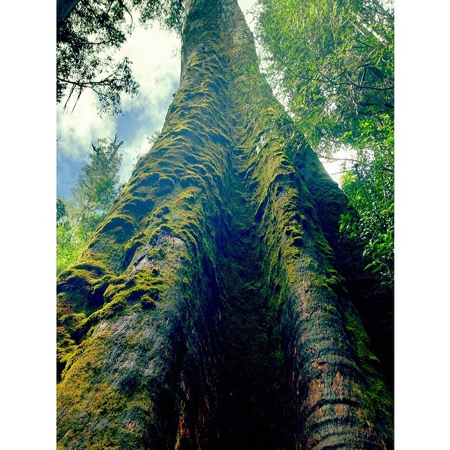 One of the worlds tallest flowering plants (over 85m!), this is a mountain ash (Eucalyptus regnans) that we visited in the Styx Forest yesterday - I gave this behemoth a big hug by way of thanks for casting out oxygen for the last 400 years. Nice work, na