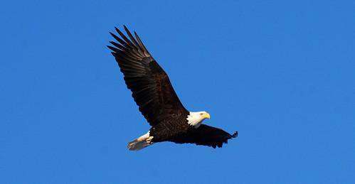 Bald Eagle.... by Natures Caretaker