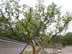 Chinese apricot tree (Prunus mume, Kor. maehwanamu)
