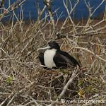 Frigate Nesting - Galapagos Islands