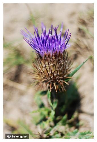 内蒙古植物照片-菊科蝟菊属火媒草
