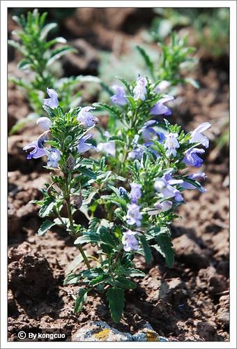 内蒙古植物照片-香青兰,唇形科青兰属