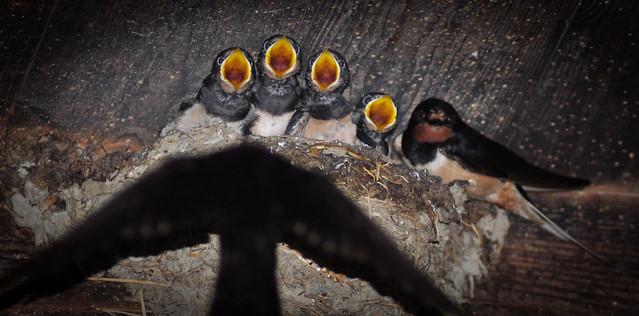 Barn-Swallow Rauchschwalbe (Hirundo rustica) I